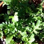 Fall gardening: arugula.
